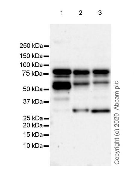 Western blot - Anti-BRD9 antibody [EPR23888-5] - BSA and Azide free (ab277488)