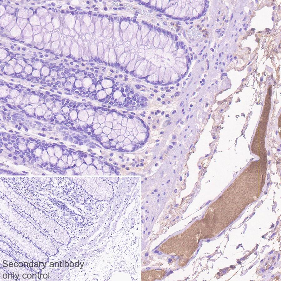 Immunohistochemistry (Formalin/PFA-fixed paraffin-embedded sections) - Anti-MASP2 antibody [EPR23588-44] (ab277520)