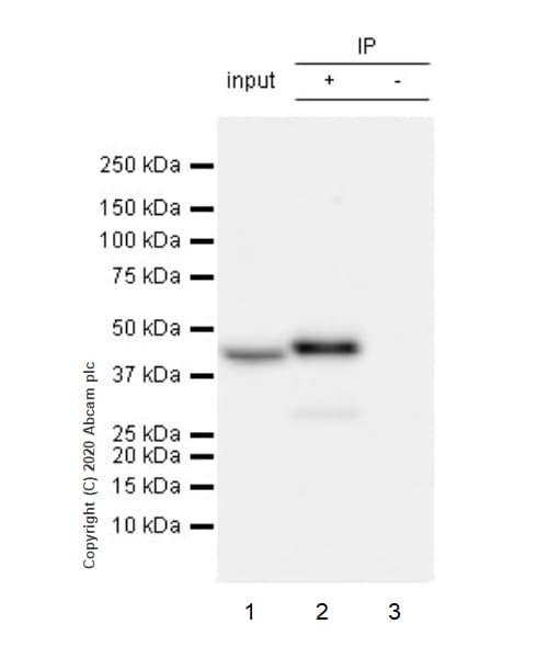 Immunoprecipitation - Anti-Indoleamine 2, 3-dioxygenase antibody [EPR24032-22] (ab277522)