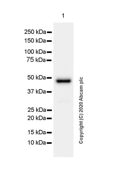 Western blot - Anti-Indoleamine 2, 3-dioxygenase antibody [EPR24032-22] (ab277522)