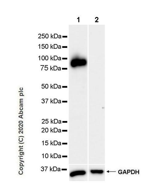 Western blot - Anti-MAG/GMA antibody [EPR24276-125] (ab277524)