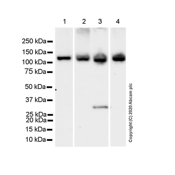 Western blot - Anti-SmarcAL1 antibody [EPR23912-44] - BSA and Azide free (ab277529)