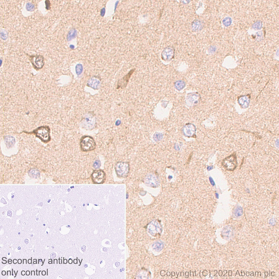 Immunohistochemistry (Formalin/PFA-fixed paraffin-embedded sections) - Anti-NPTX2 antibody [EPR24020-38] - BSA and Azide free (ab277533)