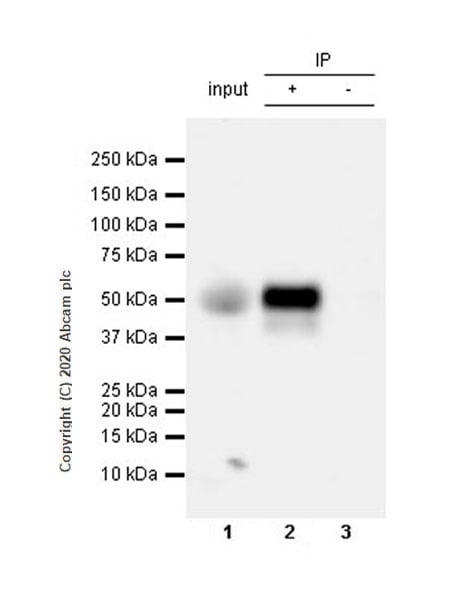 Immunoprecipitation - Anti-NPTX2 antibody [EPR24020-38] - BSA and Azide free (ab277533)
