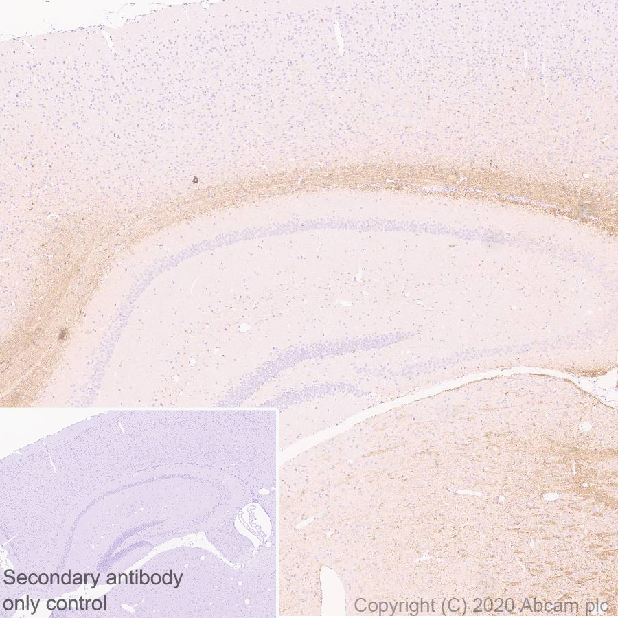 Immunohistochemistry (Formalin/PFA-fixed paraffin-embedded sections) - Anti-MAG/GMA antibody [EPR24276-125] - BSA and Azide free (ab277535)