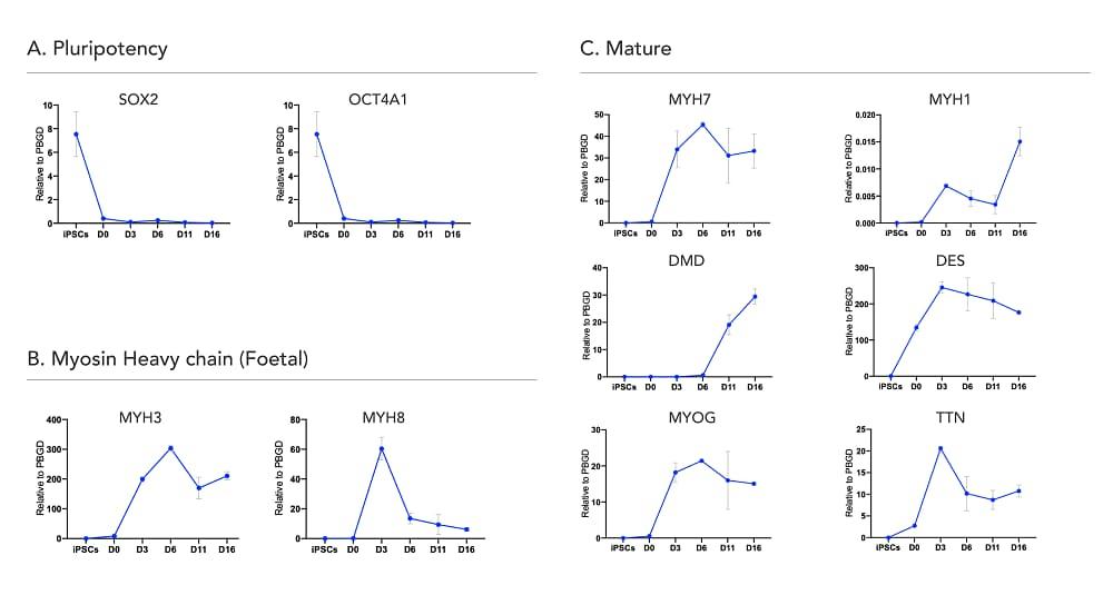Functional Studies - ioSkeletal Myocytes - Human iPSC-Derived Skeletal Myocytes (ab277612)