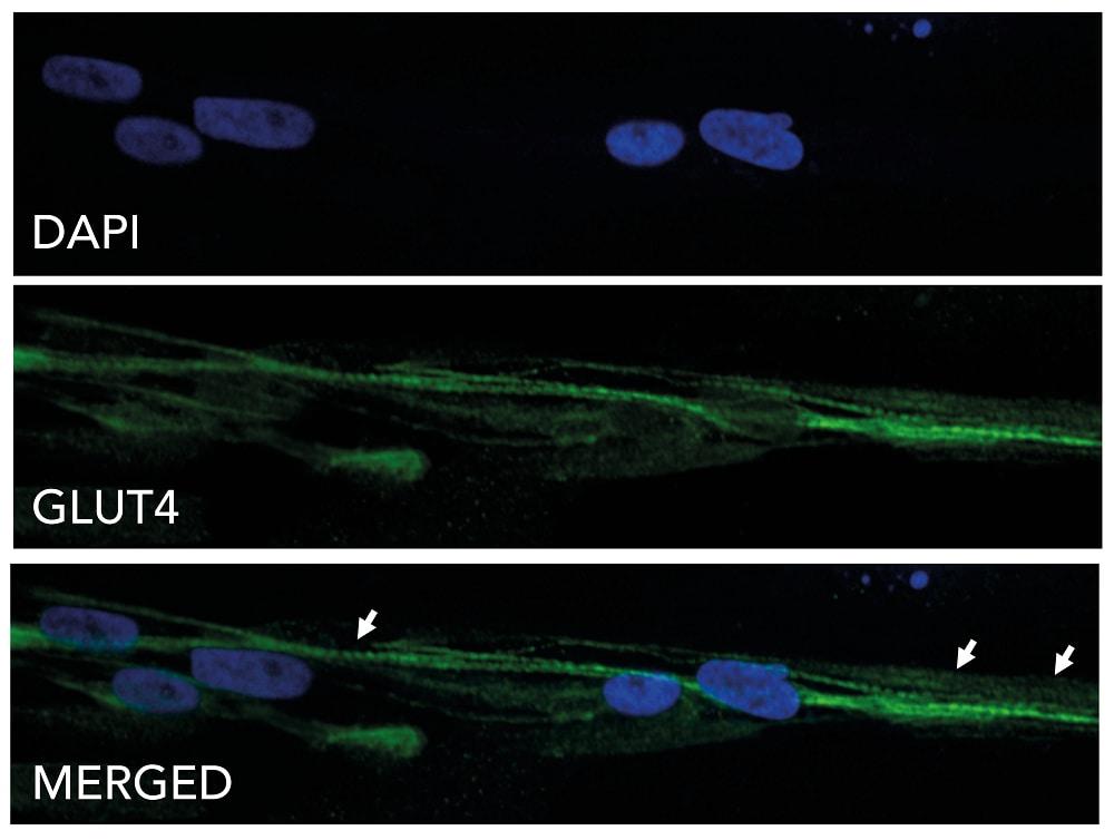 Immunocytochemistry - ioSkeletal Myocytes - Human iPSC-Derived Skeletal Myocytes (ab277612)