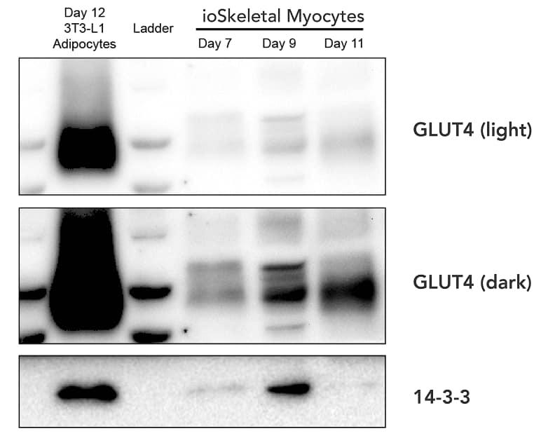 Western blot - ioSkeletal Myocytes - Human iPSC-Derived Skeletal Myocytes (ab277612)
