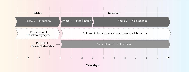 Cell Culture - ioSkeletal Myocytes - Human iPSC-Derived Skeletal Myocytes (ab277612)