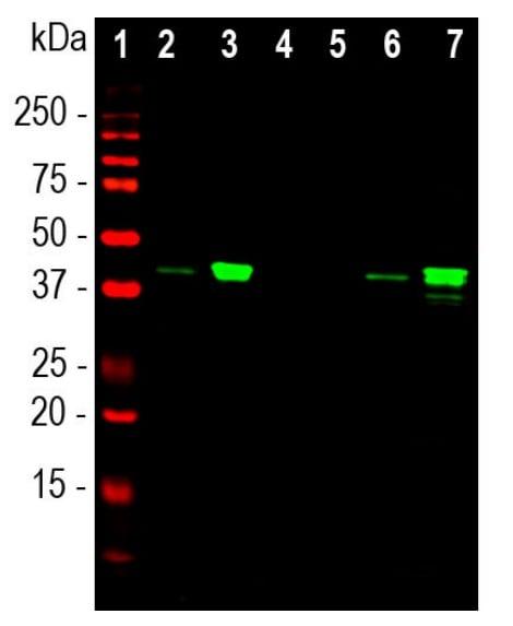 Western blot - Anti-MBNL1 antibody [1H1] (ab277620)