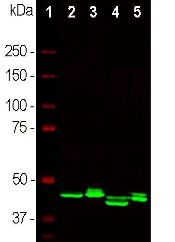 Western blot - Anti-CNPase antibody [1H10] (ab277621)