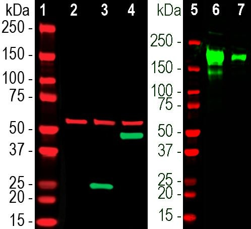 Western blot - Anti-Spike glycoprotein antibody [2G1] (ab277624)