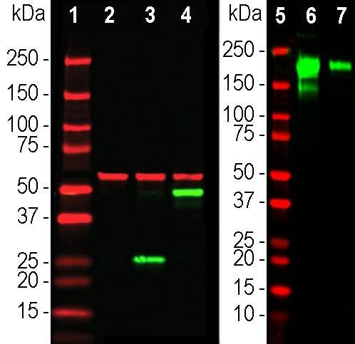 Western blot - Anti-Spike glycoprotein antibody [5G8] (ab277628)