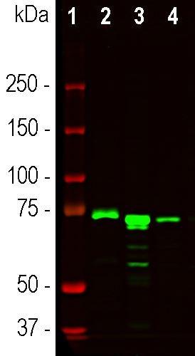 Western blot - Anti-MeCP2 antibody [5H12] (ab277629)
