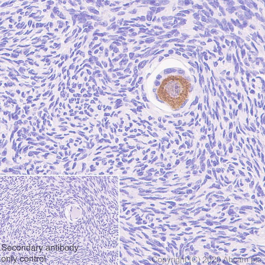 Immunohistochemistry (Formalin/PFA-fixed paraffin-embedded sections) - Anti-DDX4 / MVH antibody [EPR24148-58] - BSA and Azide free (ab277638)