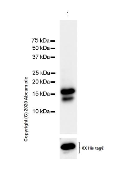 Western blot - Anti-CXCL9 antibody [EPR23999-5] - BSA and Azide free (ab277639)