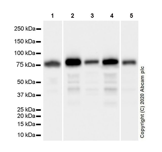 Western blot - Anti-Transferrin antibody [EPR20149-224] - BSA and Azide free (ab277640)