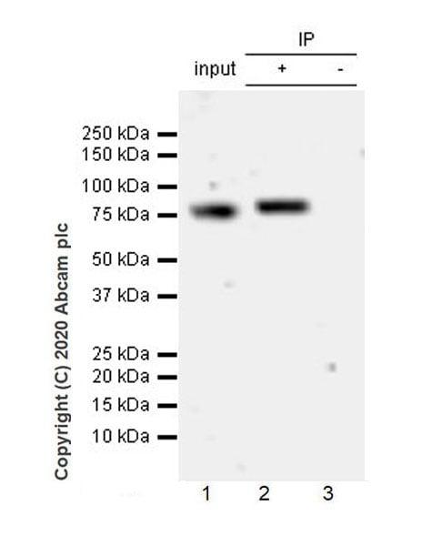 Immunoprecipitation - Anti-Transferrin antibody [EPR20149-224] - BSA and Azide free (ab277640)