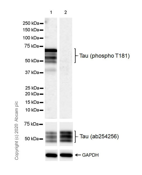 Western blot - Anti-Tau (phospho T181) antibody [EPR23506-107] - BSA and Azide free (ab277644)
