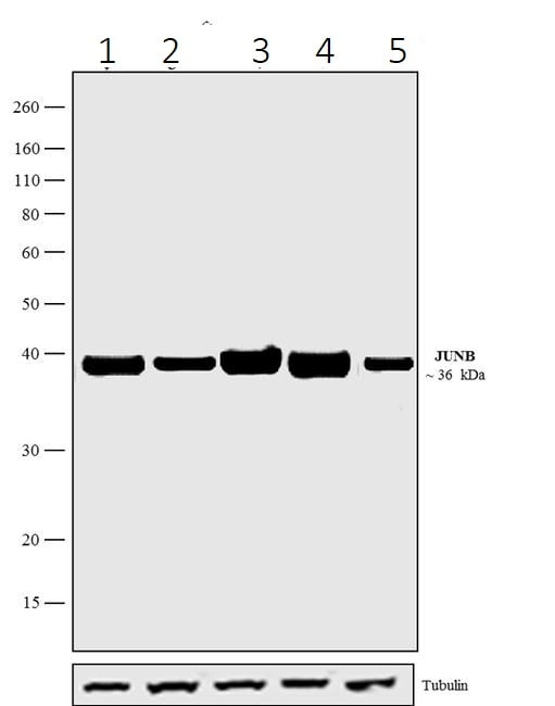 Western blot - Anti-JunB antibody [15HCLC] (ab277769)