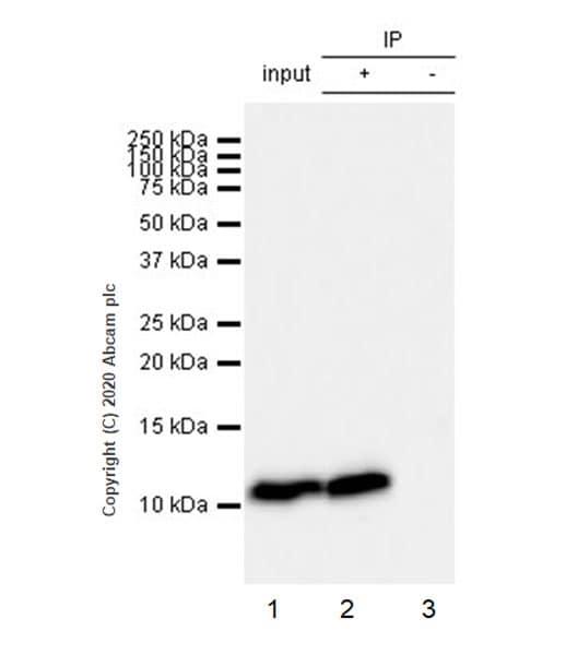 Immunoprecipitation - Anti-Macrophage Inflammatory Protein 1 alpha / CCL3 antibody [EPR23751-54] - BSA and Azide free (ab277944)
