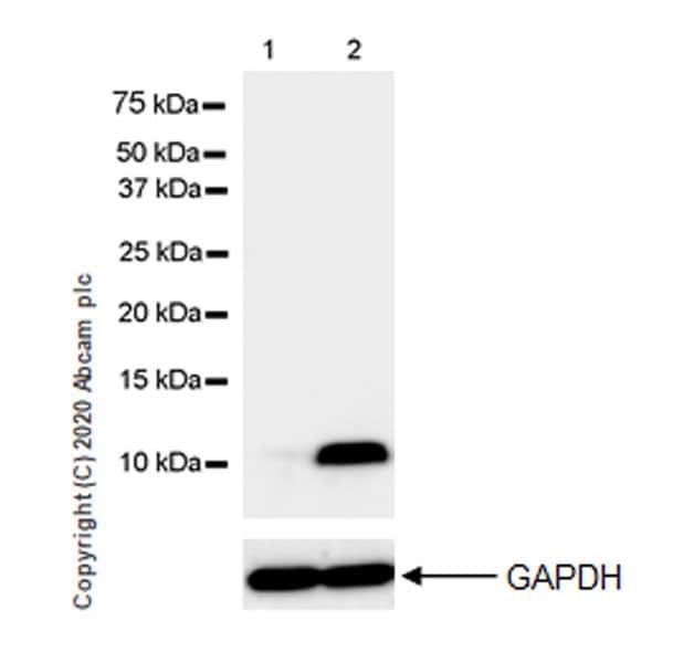 Western blot - Anti-Macrophage Inflammatory Protein 1 alpha / CCL3 antibody [EPR23751-54] - BSA and Azide free (ab277944)