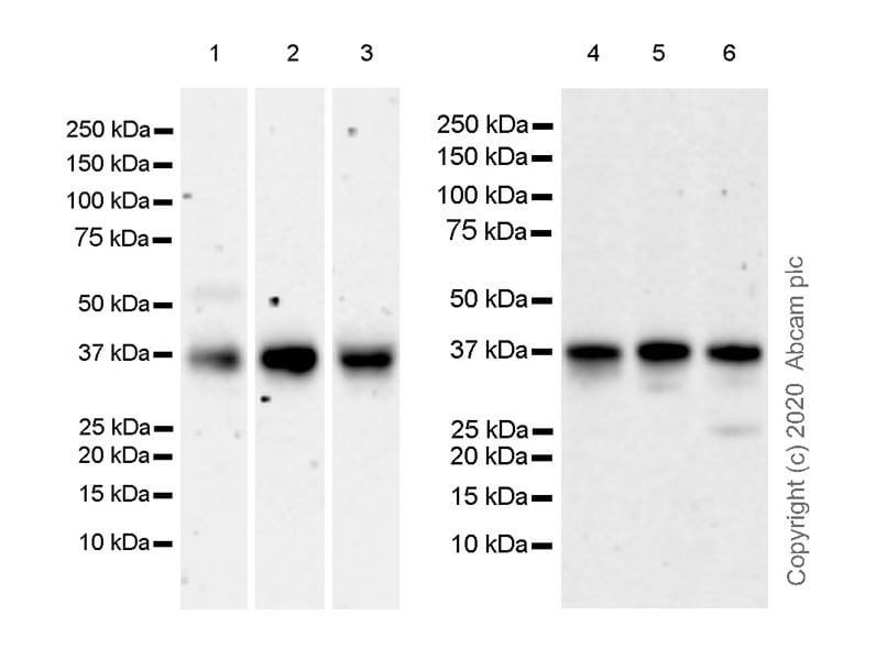 Western blot - Anti-SIX1 + SIX6 + Six3 + SIX2 antibody [EPR23608-2] - BSA and Azide free (ab277949)