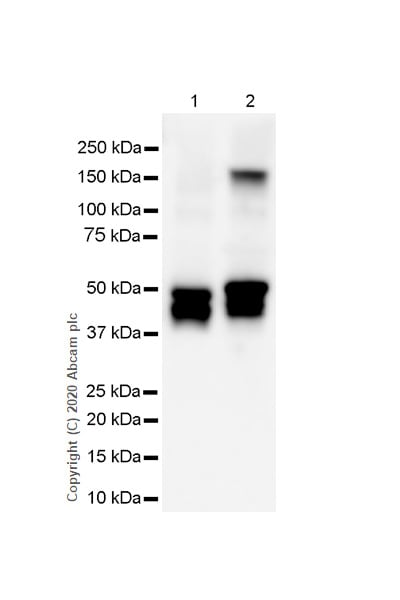 Western blot - Anti-GFAP antibody [RP1003] (ab278054)