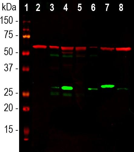 Western blot - Anti-Galectin 3 antibody [5C21] (ab278071)