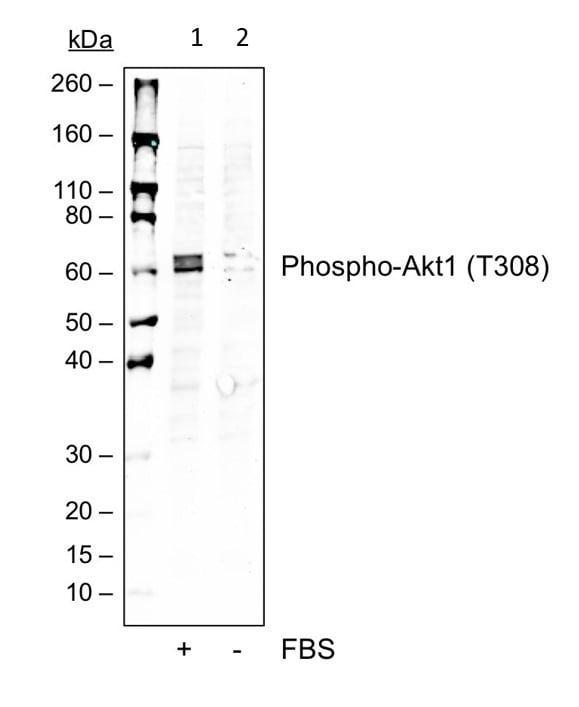 Western blot - Anti-AKT1 (phospho T308) antibody [AktT308-G12] (ab278565)