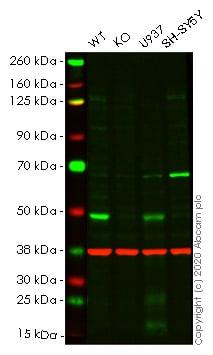 Western blot - Human VDR (Vitamin D Receptor) knockout HeLa cell pellet (ab278813)