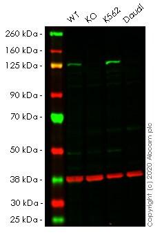 Western blot - Human JAK2 knockout A549 cell pellet (ab278814)