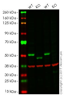 Western blot - Human SMAD3 knockout HeLa cell pellet (ab278815)
