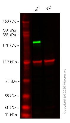 Western blot - Human SMARCA4 (BRG1) knockout HEK293T cell pellet (ab278821)