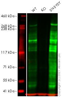 Western blot - Human ARID1A knockout HEK293T cell pellet (ab278824)