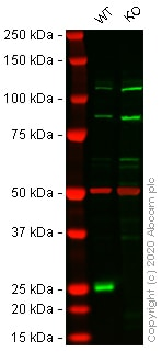 Western blot - Human CBX1 (HP1 beta) knockout HEK293T cell pellet (ab278871)
