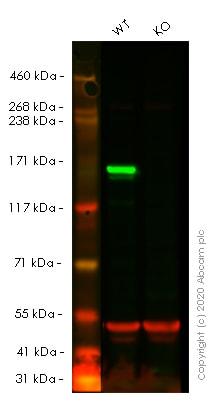 Western blot - Human MSH6 knockout HeLa cell pellet (ab278881)