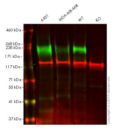 Western blot - Human EGFR knockout HeLa cell pellet (ab278888)