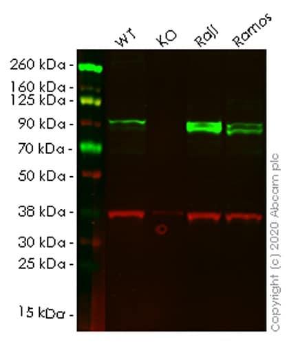 Western blot - Human ICAM1 knockout HeLa cell pellet (ab278920)