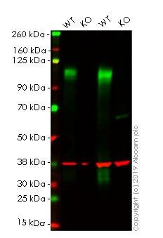 Western blot - Human LAMP2 knockout HeLa cell pellet (ab278923)