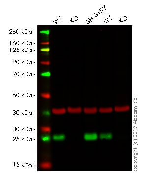 Western blot - Human UCHL1 (PGP9.5) knockout HEK293T cell pellet (ab278928)