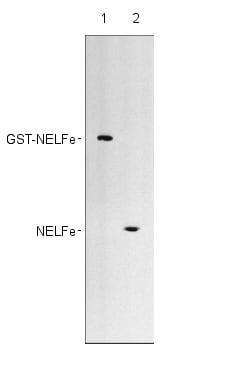 Western blot - Anti-NELFe antibody (ab28038)