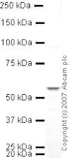 Western blot - Anti-SUFU antibody (ab28083)