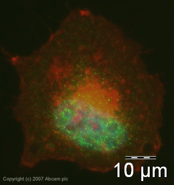 Immunocytochemistry/ Immunofluorescence - Anti-SUFU antibody (ab28083)