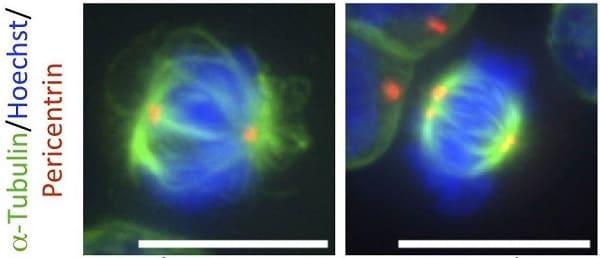 Immunocytochemistry/ Immunofluorescence - Anti-Pericentrin antibody [mAbcam 28144] - Centrosome Marker (ab28144)