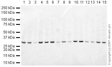 Western blot - Anti-Prohibitin antibody - Mitochondrial Marker (ab28172)