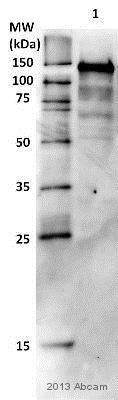 Western blot - Anti-BubR1 antibody (ab28193)
