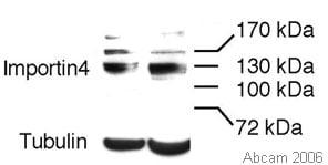 Western blot - Anti-Importin4 antibody (ab28387)