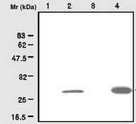 Western blot - Anti-Peroxiredoxin 6 antibody (ab28444)