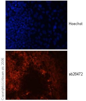 Immunocytochemistry/ Immunofluorescence - Anti-Wnt3a antibody (ab28472)